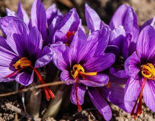 ارزان ترین کود زعفران.Saffron fertilizer.قیمت کود زعفران.کود زعفران مشهد زیر قیمت